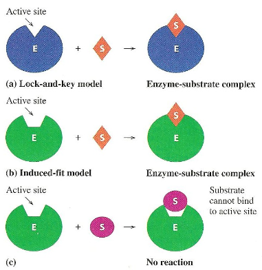 The Living Earth Cell Model Of Enzyme Action Science War Actions